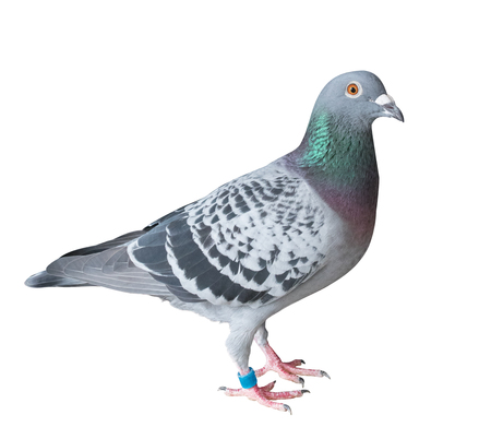 Photo for side view full body of homing pigeon bird isolated white background - Royalty Free Image