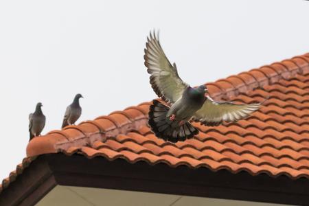 Foto de homing pigeon bird flying fand perching on home roof tile - Imagen libre de derechos
