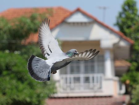 Foto de homing pigeon bird flying in home village - Imagen libre de derechos