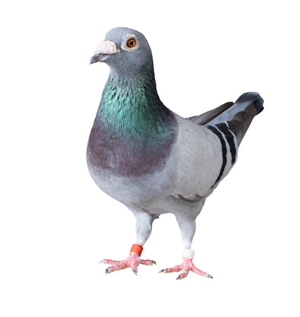 Photo for full body of speed racing pigeon bird isolated white background - Royalty Free Image