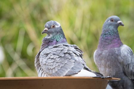 Foto de homing pigeon bird bathing in green park - Imagen libre de derechos