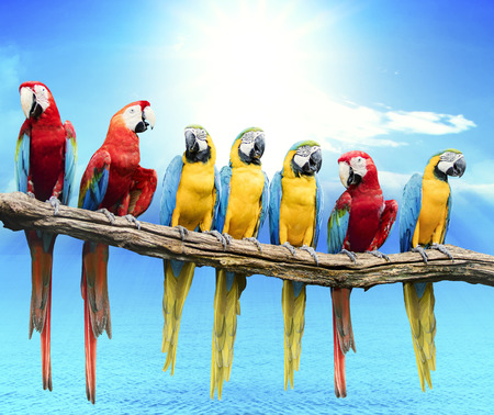 Photo for flock of red and blue yellow macaw purching on dry tree branch isolated white background - Royalty Free Image