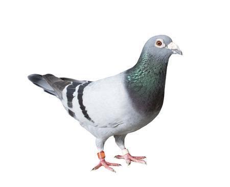 Foto de full body of speed racing pigeon bird with banding leg ring isolated white background - Imagen libre de derechos