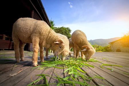 Foto de merino sheep eating luzi grass in countryside farm - Imagen libre de derechos