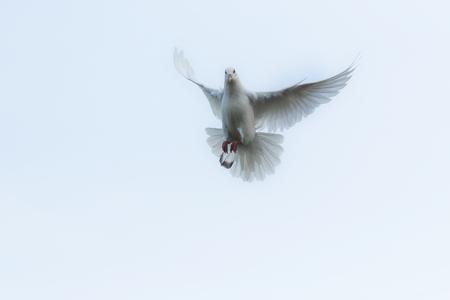 Foto de white feather homing pigeon flying over sky - Imagen libre de derechos