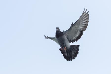 Foto de upper wing of homing pigeon bird floating by flying  mid air - Imagen libre de derechos