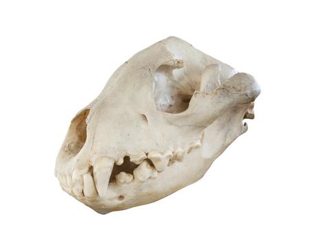 Photo pour head skull of hyeena isolated white background - image libre de droit