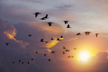 Foto de flock of  Cormorant bird flying against beautiful sun light sky - Imagen libre de derechos