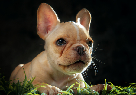 Photo for close up face of french bull dog puppy in studio shot - Royalty Free Image