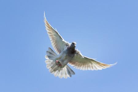 Foto de flying speed racing pigeon bird against clear blue sky - Imagen libre de derechos