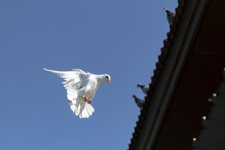 Foto de white feather homing pigeon flying against clear blue sky - Imagen libre de derechos