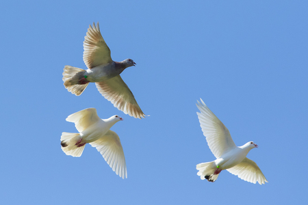 Photo for three speed racing pigeon bird flying against clear blue sky - Royalty Free Image