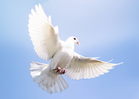 Foto de white feather pigeon bird flying against clear blue sky - Imagen libre de derechos