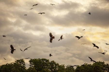 Foto de flock of Brahminy kite, Red-backed sea-eagle in mangrove forest thailand - Imagen libre de derechos