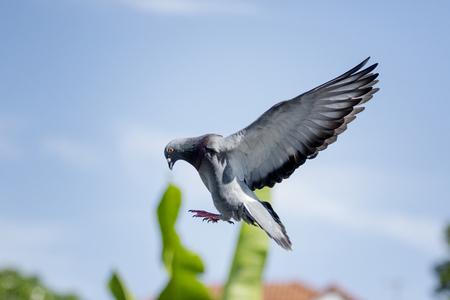 Foto de homing pigeon bird flying for landing to home loft - Imagen libre de derechos