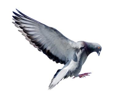 Foto de full body of flying pigeon bird isolated white background - Imagen libre de derechos