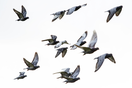 Photo for flock of speed racing pigeon flying against white background - Royalty Free Image
