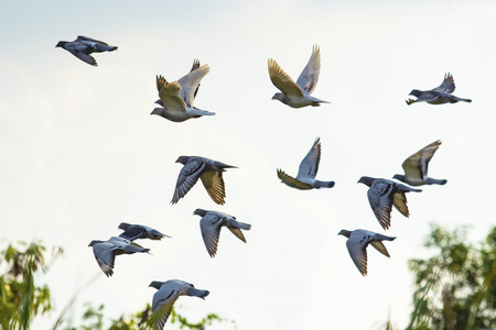 Photo for flock of speed racing pigeon brid flying - Royalty Free Image