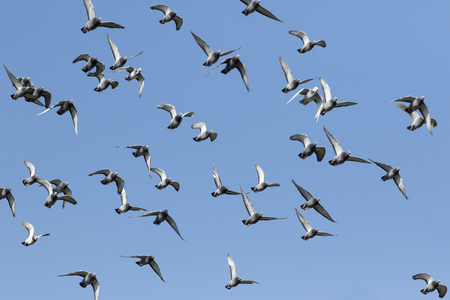 Foto de flock of speed racing pigeon flying against clear blue sky - Imagen libre de derechos
