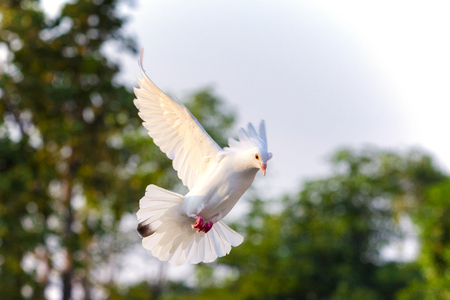 Photo for white feather pigeon bird flying mid air against green blur background - Royalty Free Image