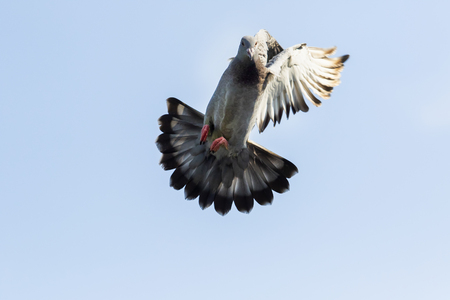 Foto de speed racing pigeon bird approach for landing to home loft - Imagen libre de derechos