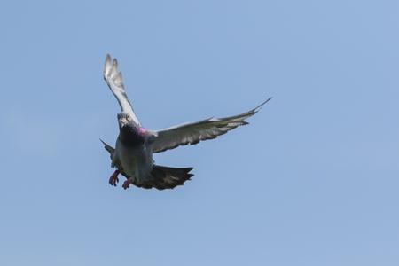 Foto de speed racing pigeon flying mid air against clear blue sky - Imagen libre de derechos