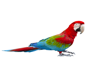 Photo pour side view full body of scarlet ,red macaw bird standing isolated white background - image libre de droit