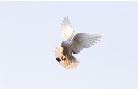 Foto de white feather pigeon flying against clear blue sky - Imagen libre de derechos