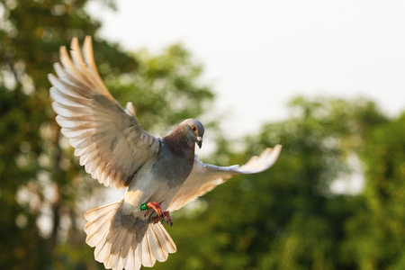 Photo for red feather speed racing pigeon flying  in green park - Royalty Free Image