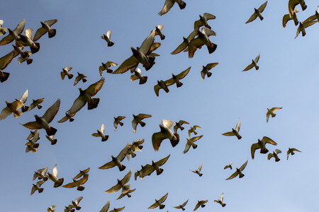 Photo for flock of speed racing pigeon bird, flying against clear blue sky - Royalty Free Image