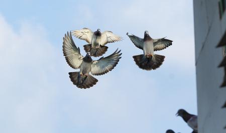 Foto de flock homing pigeon bird flying mid air - Imagen libre de derechos