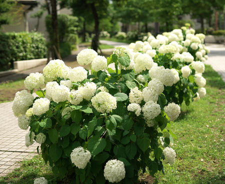 Photo for Tokyo, Japan-June 9, 2018: Hydrangea arborescens Annabelle or Hills-of-snow - Royalty Free Image
