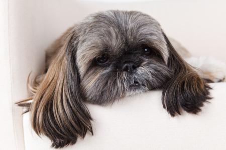 Closeup of an old and sick dog