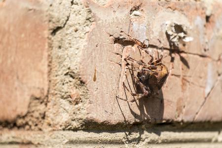 Foto für Cross spider sitting on a brick wall (Araneus diadematus) - Lizenzfreies Bild