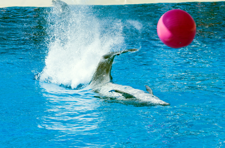Photo for Dolphin playing with a red ball. Big splash - Royalty Free Image