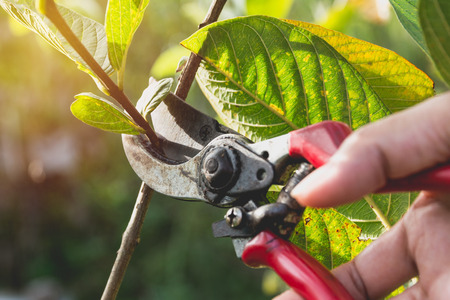 Photo pour Gardener pruning trees with pruning shears on nature background. - image libre de droit