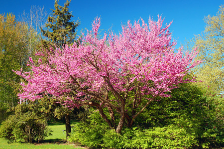 Photo for Cherry blossoms - Royalty Free Image