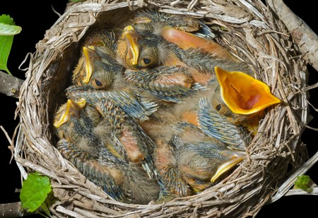 A close up of the nest of thrush with small babies. Isolated on black.