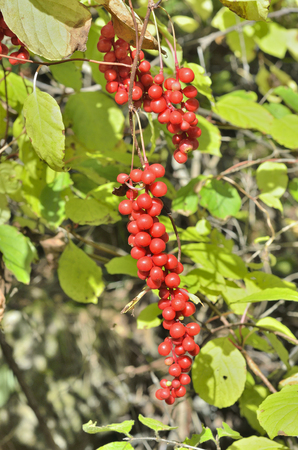 Foto de A close up of the Far-Eastern medicinal plant (Schisandra chinensis) with berries. - Imagen libre de derechos