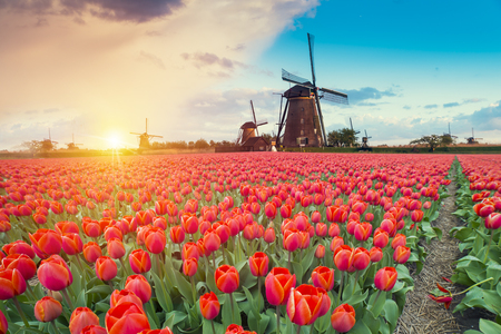 Photo for Majestic dawn over beautiful field of tulip flowers and windmill, traditional Holland landscape - Royalty Free Image