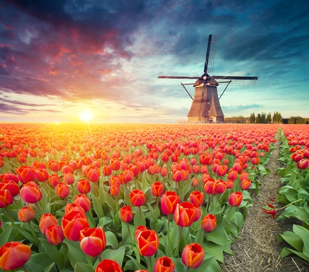 Photo pour traditional Netherlands Holland dutch scenery with one typical windmill and tulips, Netherlands countryside - image libre de droit