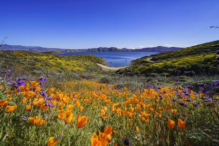 Photo pour Lots of wild flower blossom at Diamond Valley Lake, California - image libre de droit