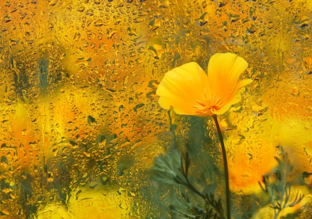 Close-up of  California Poppy under wet glass. Autumn background.
