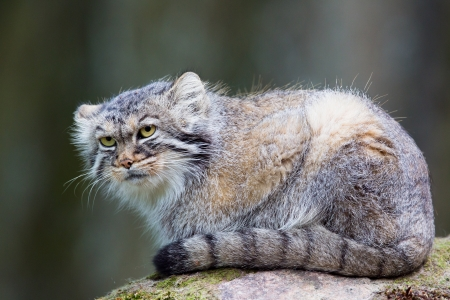Pallas´s cat, or manul, lives in the cold and arid steppes of central Asia Winter temperatures can drop to 50 degrees below zero