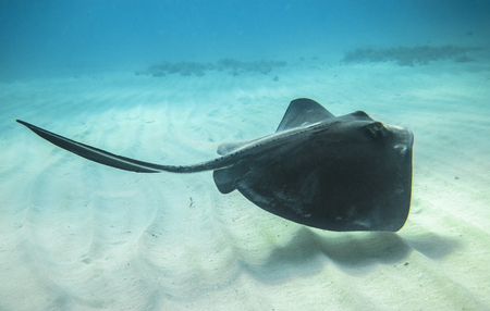 Photo pour An adult southern stingray (Dasyatis americana) swimming above a sandy ocean floor in the Caribbean Sea, Costa Rica. - image libre de droit