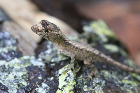 A pug nosed anole (Norops capito) on a lichen covered rock in Costa Rica.