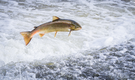 Foto de An Atlantic salmon (Salmo salar) jumps out of the water at the Shrewsbury Weir on the River Severn in an attempt to move upstream to spawn. Shropshire, England. - Imagen libre de derechos