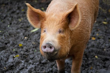 Brown pig looking at the camera in a muddy field