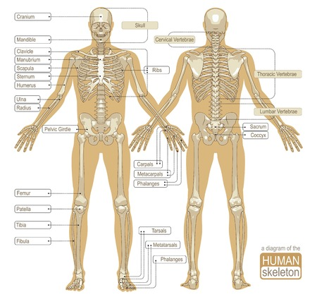 Illustration pour A diagram of the human skeleton with titled main parts of the skeletal system. Vector illustration - image libre de droit