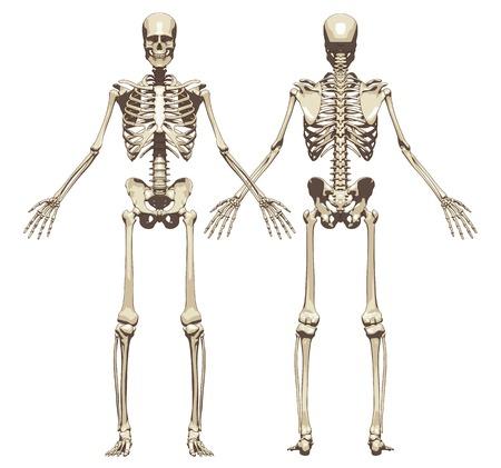 Ilustración de A human skeleton. Front and back view isolated on a white background. Vector illustration - Imagen libre de derechos